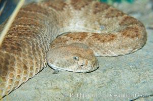 Western diamondback rattlesnake, Crotalus atrox