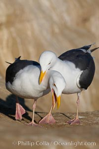 Western gull, courtship display. La Jolla, California, USA, Larus occidentalis, natural history stock photograph, photo id 15565