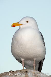 Western gull, adult breeding, Larus occidentalis, La Jolla, California