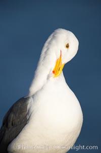 Western gull, preening, adult breeding, Larus occidentalis, La Jolla, California