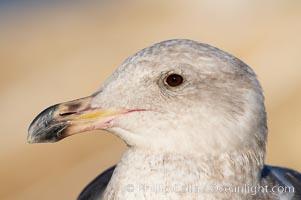Western gull, juvenile, Larus occidentalis, La Jolla, California