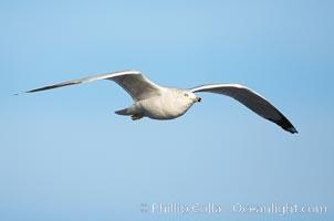 Western gull, third winter non-adult, Larus occidentalis, La Jolla, California