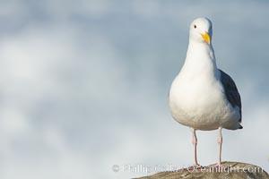 Western gull, surf, Larus occidentalis, La Jolla, California
