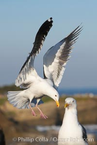 Western gull slows to land, Larus occidentalis, La Jolla, California