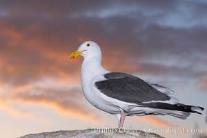 Western gull, sunrise, Larus occidentalis, La Jolla, California