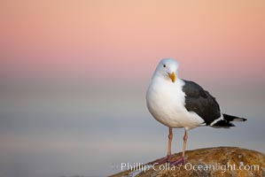 Western gull, early morning pink sky. La Jolla, California, USA, Larus occidentalis, natural history stock photograph, photo id 18394