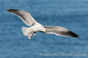 Western gull in flight. La Jolla, California, USA, Larus occidentalis, natural history stock photograph, photo id 26296