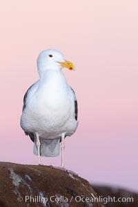 Western gull, pre-sunrise. La Jolla, California, USA, Larus occidentalis, natural history stock photograph, photo id 26298