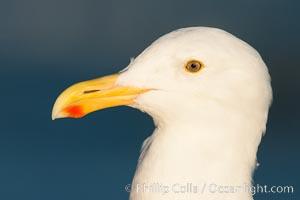 Western gull, Larus occidentalis, La Jolla, California