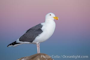 Western gull, early morning pink sky, Larus occidentalis, La Jolla, California