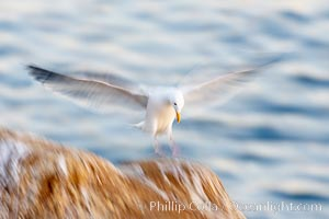 Western gull in flight, blurred due to time exposure before dawn, La Jolla, California