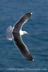 Western gull in flight. La Jolla, California, USA, natural history stock photograph, photo id 20327