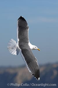 Western gull in flight, La Jolla, California