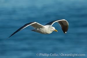 Western gull, flying. La Jolla, California, USA, Larus occidentalis, natural history stock photograph, photo id 30450