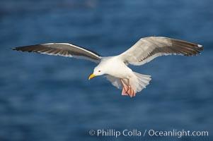 Western gull in flight, Larus occidentalis, La Jolla, California