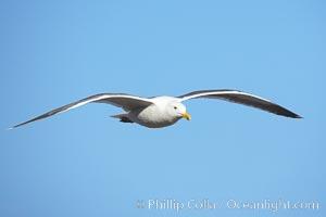 Western gull, flying, Larus occidentalis, La Jolla, California