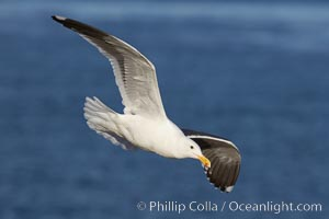 Western gull, flying. La Jolla, California, USA, Larus occidentalis, natural history stock photograph, photo id 20060