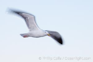 Western gull in flight, blur, Larus occidentalis, La Jolla, California