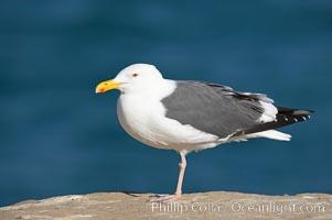 Western gull, adult breeding plumage, note yellow orbital ring around eye, Larus occidentalis, La Jolla, California