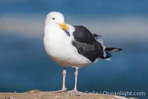 Western gull, adult breeding plumage, note yellow orbital ring around eye. La Jolla, California, USA, Larus occidentalis, natural history stock photograph, photo id 15114
