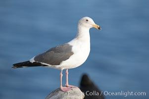 Western gull, juvenile 3rd winter plumage, Larus occidentalis, La Jolla, California