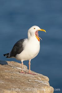 Western gull, open mouth, Larus occidentalis, La Jolla, California