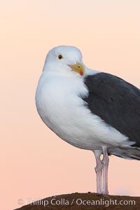 Western gull, pre-sunrise. La Jolla, California, USA, Larus occidentalis, natural history stock photograph, photo id 26294