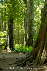 Western redcedar trees in Cathedral Grove.  Cathedral Grove is home to huge, ancient, old-growth Douglas fir trees.  About 300 years ago a fire killed most of the trees in this grove, but a small number of trees survived and were the originators of what is now Cathedral Grove.  Western redcedar trees grow in adundance in the understory below the taller Douglas fir trees, MacMillan Provincial Park, Vancouver Island, British Columbia, Canada