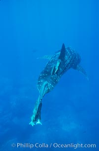 Whale shark. Darwin Island, Galapagos Islands, Ecuador, Rhincodon typus, natural history stock photograph, photo id 01500
