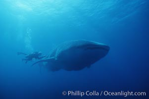 Whale shark. Darwin Island, Galapagos Islands, Ecuador, Rhincodon typus, natural history stock photograph, photo id 01501