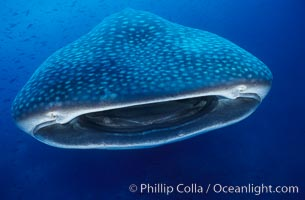 Whale shark, Rhincodon typus, Darwin Island, copyright Phillip Colla Natural History Photography, www.oceanlight.com, image #01503, all rights reserved worldwide.