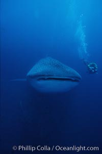 Whale shark. Darwin Island, Galapagos Islands, Ecuador, Rhincodon typus, natural history stock photograph, photo id 01507