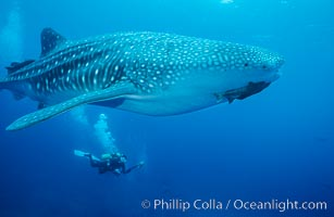 Whale shark, Rhincodon typus, Darwin Island, copyright Phillip Colla Natural History Photography, www.oceanlight.com, image #01513, all rights reserved worldwide.