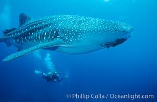 Whale shark, Rhincodon typus, Darwin Island