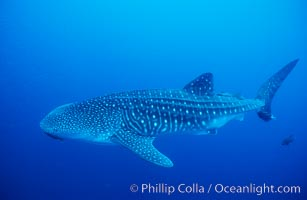 Whale shark, Rhincodon typus, Darwin Island, copyright Phillip Colla Natural History Photography, www.oceanlight.com, image #01519, all rights reserved worldwide.