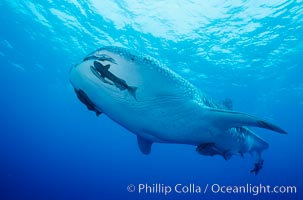 A whale shark swims through the open ocean in the Galapagos Islands.  The whale shark is the largest shark on Earth, but is harmless eating plankton and small fish, Rhincodon typus, Darwin Island