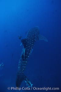 Whale shark. Darwin Island, Galapagos Islands, Ecuador, Rhincodon typus, natural history stock photograph, photo id 01521