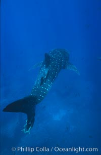 Whale shark, Rhincodon typus, Darwin Island, copyright Phillip Colla Natural History Photography, www.oceanlight.com, image #01523, all rights reserved worldwide.