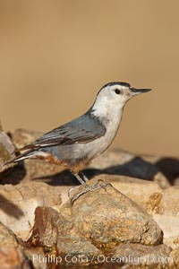 White-breasted nuthatch, female, Sitta carolinensis, Madera Canyon Recreation Area, Green Valley, Arizona