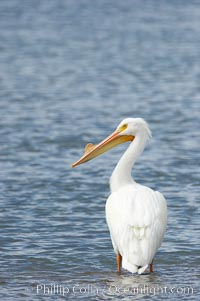 White pelican, breeding adult with fibrous plate on upper mandible of bill, Batiquitos Lagoon. Batiquitos Lagoon, Carlsbad, California, USA, Pelecanus erythrorhynchos, natural history stock photograph, photo id 15651