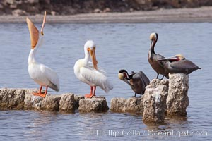 White pelicans and brown pelicans stand together on salt-encrusted pier pilings on the Salton Sea, Pelecanus erythrorhynchos, Pelecanus occidentalis, Imperial County, California