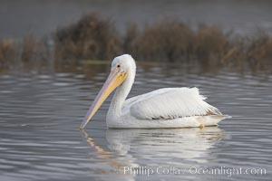 White pelican, Pelecanus erythrorhynchos, San Elijo Lagoon, Encinitas, California