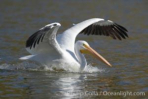 White pelican. Santee Lakes, Santee, California, USA, Pelecanus erythrorhynchos, natural history stock photograph, photo id 20106