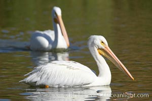 White pelican, Pelecanus erythrorhynchos, Santee Lakes