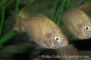 White seaperch., Phanerodon furcatus, natural history stock photograph, photo id 09408