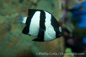 White-tailed damselfish., Dascyllus aruanus, natural history stock photograph, photo id 11845