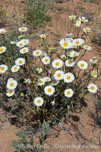 A springtime cluster of white tidy-tips, a common wildflower in teh Colorado Desert, Layia glandulosa, Joshua Tree National Park, California
