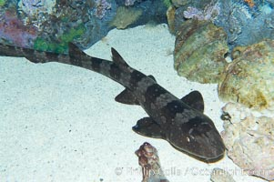 Whitespotted bamboo shark., Chiloscyllium plagiosum, natural history stock photograph, photo id 14963