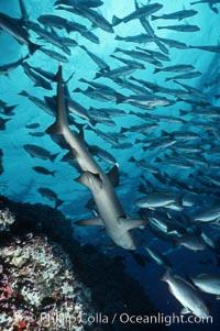 White-tip reef shark. Cocos Island, Costa Rica, Triaenodon obesus, natural history stock photograph, photo id 02014