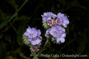 Wild heliotrope blooms in spring, Batiquitos Lagoon, Carlsbad, Phacelia distans